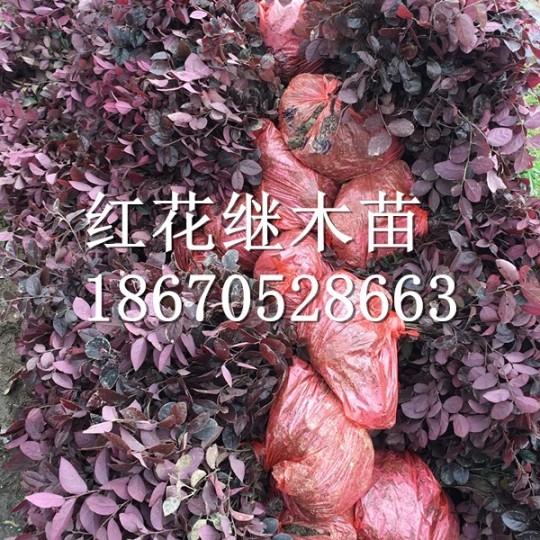 紅花繼木小苗價格
