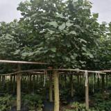 黄槿 多种规格供应批发
