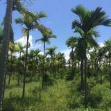 假槟榔 多种规格大量供应