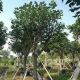 本地刺桐 移植苗地苗多种规格