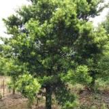 自然型、罗汉松 地苗移植苗多种规格