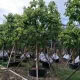 富贵榕 移植苗地苗大量供应