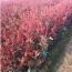 20到40公分高红叶石楠小杯苗
