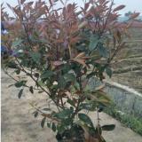 红叶石楠大桶苗叶片变暗的照片产地在浙江金华