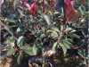60公分红叶石楠大桶苗