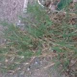 百慕大(狗牙根)草种
