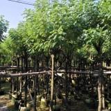 黄花槐 移植苗地苗多种规格大量供应