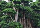 2米高垂叶榕