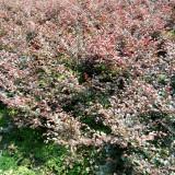 红花继木-成都园林