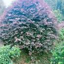 高1.4米红花继木