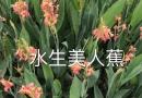 江苏美人蕉
