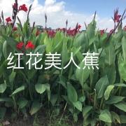 红花美人蕉