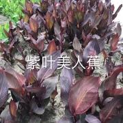 紫叶美人蕉