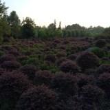 成都红花继木-绿化
