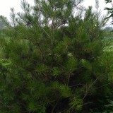 郑州裕林苗圃供2.5-3米白皮松