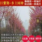 巨紫荆树苗