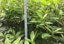 毛杜鹃 高20-25公分毛杜鹃苗 锦绣杜鹃苗