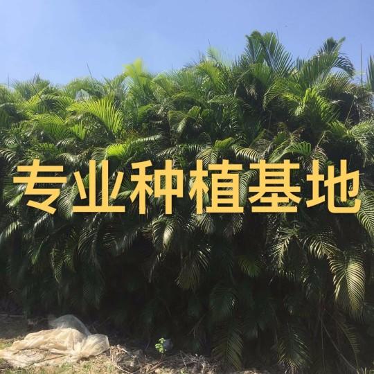福建散尾葵盆栽