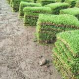 中华结缕草