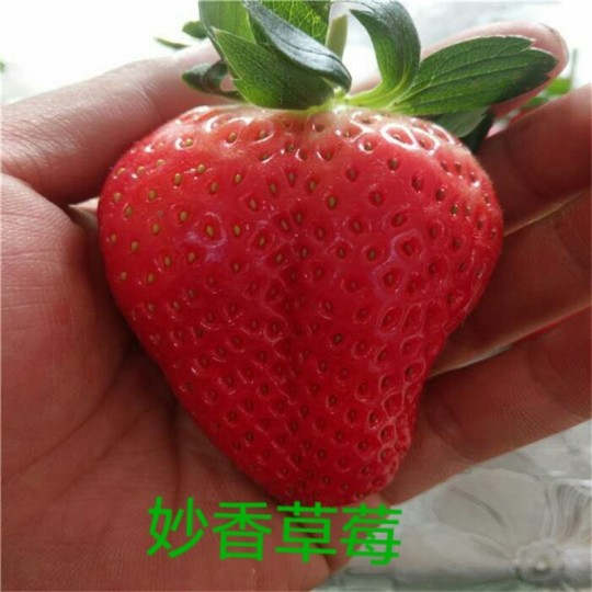 草莓苗 妙香草莓苗