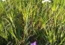 花叶石菖蒲别名金边菖蒲玉边菖蒲苗水培或土培