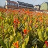 花叶美人蕉水生植物