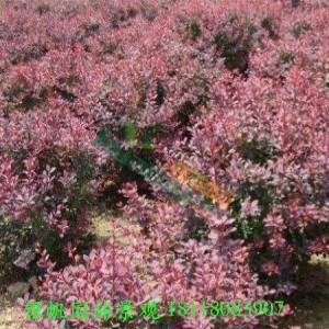 1.5米红叶小檗球