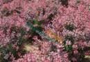 紫叶小檗、红叶小檗