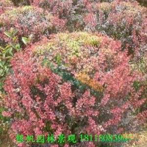 80cm红叶小檗球