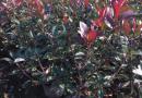 红叶石楠营养杯苗