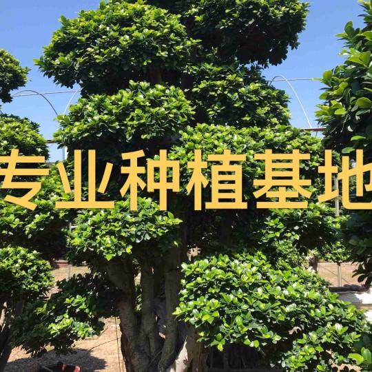 福建小叶榕价格 造型榕树批发 造型小叶榕报价 小叶榕桩头 榕树盆景桩景