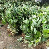 御景草莓苗种植基地 80公分高草莓苗 草莓苗价格