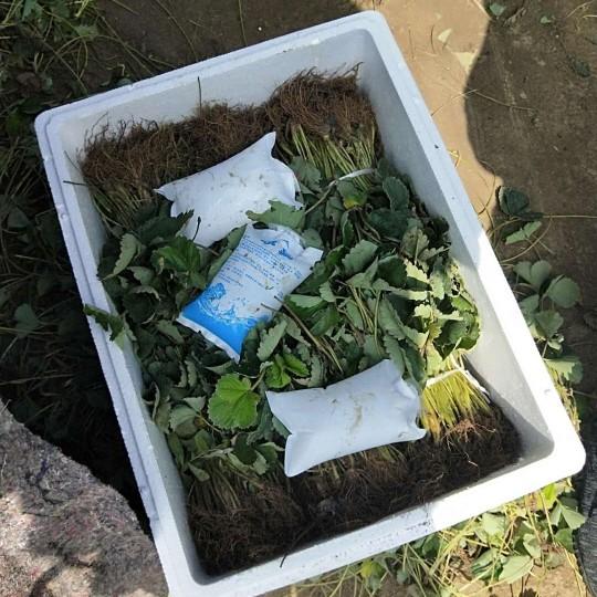 80公分高草莓苗出售  草莓苗价格