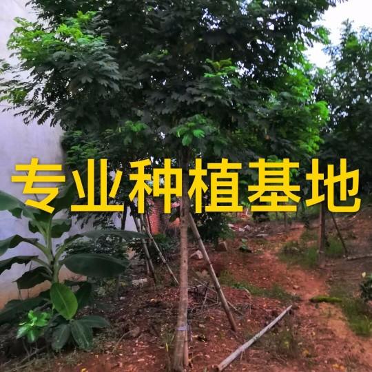 米徑14公分黃花槐
