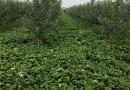 御景草莓苗种植基地 60公分高草莓苗 草莓苗价格