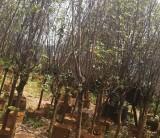 吉野樱花  广州樱  樱花 胸径5-6公分樱花