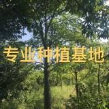福建美人树批发 美丽异木棉报价 木棉树价格