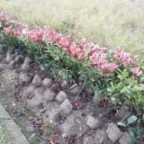 红叶石楠小毛球