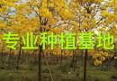 福建黄花风铃木图片 黄花风铃木价格 基地直销黄花风铃木 移植黄花风铃木