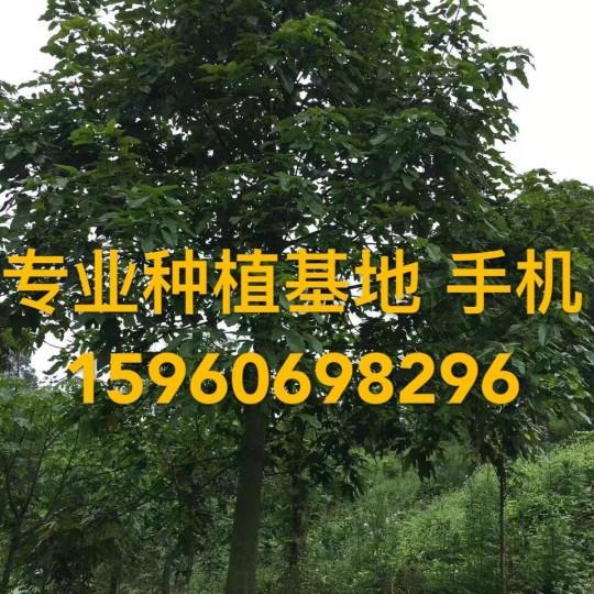 福建火焰木批发 澳洲火焰木价格 本地火焰木报价 精品火焰木基地直销