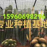 福建漳州沙漠热带植物厂家 大型主景仙?#33487;?#25209;发基地 公园造景设计