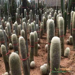福建漳州沙漠热带植物厂家 大型主景仙人掌批发基地 公园造景设计