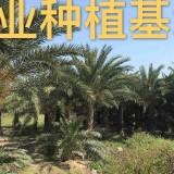 福建中东海枣批发