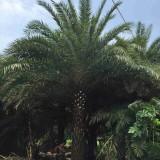中东海枣树基地