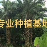 中东海枣基地 银海枣树