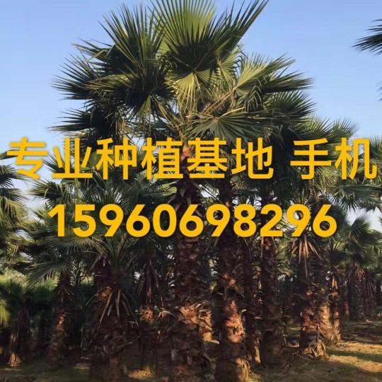 華盛頓棕櫚價格