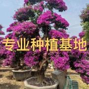 3米高紫花三角梅 2米高红花三角梅 造型三角梅