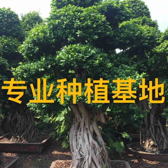 3米高造型小叶榕桩头报价 小叶榕桩景价格批发