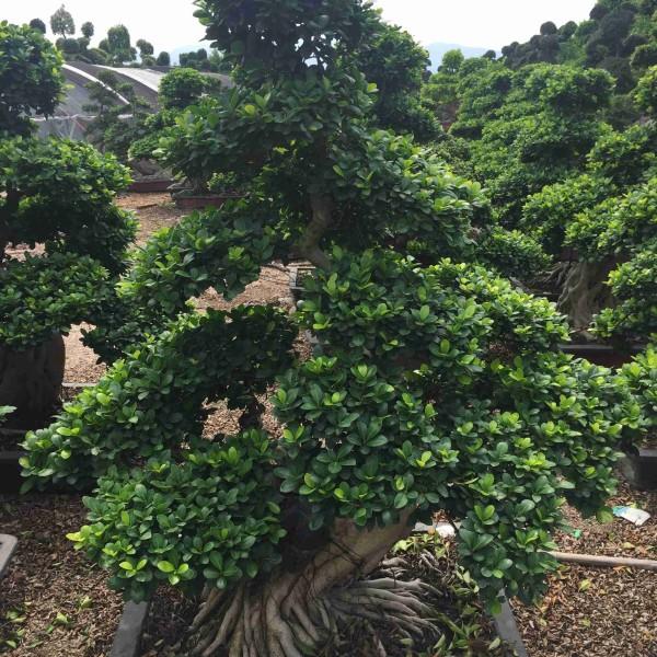 1.5米高造型小叶榕桩头大量供应 小叶榕盆景价格批发