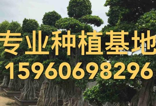 4米高造型澳门金沙赌场选树桩桩头桩景价格批发报价